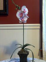 Potted Single Stem White Phalaenopsis Orchid Arrangement